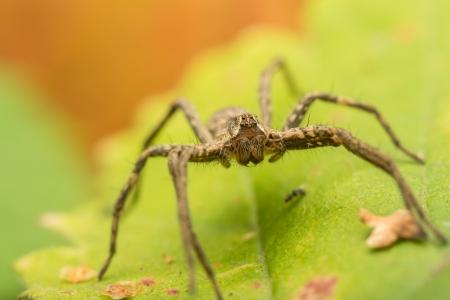 nursery web spider: Extreme Macro Photo Of A Nursery Web Spider Portrait