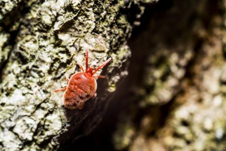 aracnidos: Primer plano de un detalle �caros de terciopelo rojo terciopelo �caros son ar�cnidos se encuentran en la hojarasca del suelo conocidos por sus colores rojos brillantes pero a menudo se confunde con ara�as