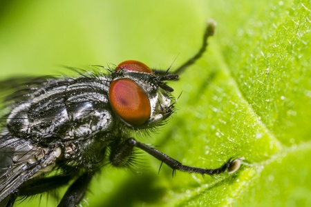 Extreme Macro Of A Common Fly  Sharp Body, Head and Eyes Stock Photo - 18294383