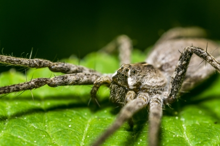 Nursery Web Spider Stock Photo