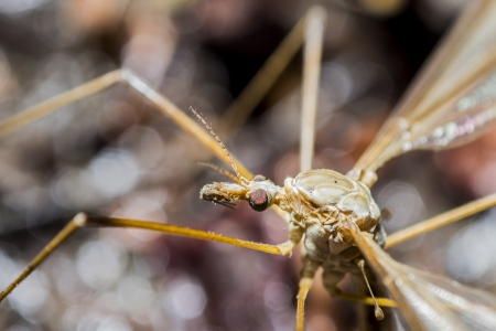 crane fly: A Crane Fly  A crane fly is an insect in the family Tipulidae