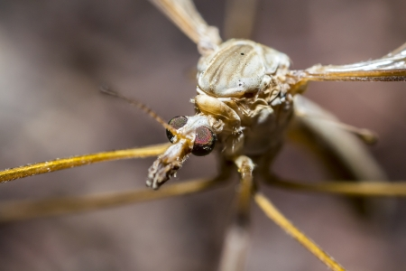 Profile Macro Photo Of A Crane Fly  A crane fly is an insect in the family Tipulidae  Stock Photo - 18294394