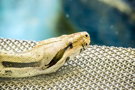 Boa Constrictor In Captivity  The Boa constrictor  Boa constrictor  is a large, heavy-bodied species of snake  It is a member of the family Boidae found in North, Central, and South America, as well as some islands in the Caribbean Stock Photo - 18294454