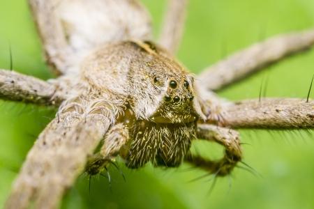 nursery web spider: A Nursery Web Spider Head
