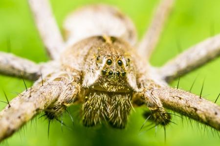 pisauridae: A Nursery Web Spider Head  Stock Photo