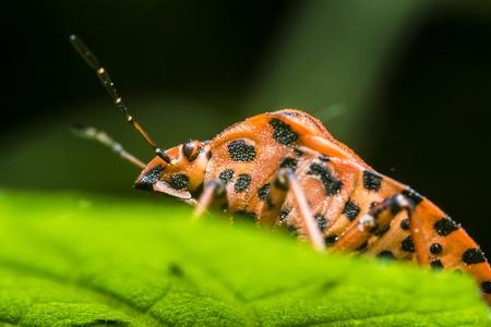Graphosoma Lineatum Insect Stock Photo - 18310963