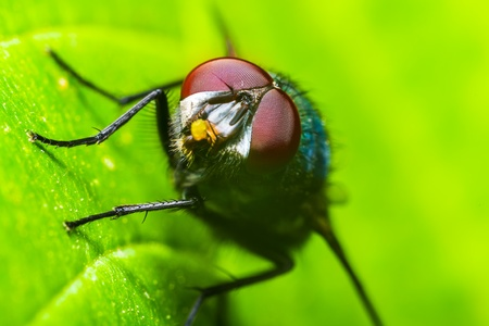 The housefly  Musca domestica Stock Photo - 18312085