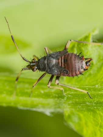 hexapod: Springtail Insect On A Green Leaf  Springtails  Collembola  form the largest of the three lineages of modern hexapods that are no longer considered insects  the other two are the Protura and Diplura   Stock Photo