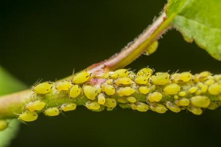 piojos: Los pulgones �fidos infestaci�n, tambi�n conocidos como pulgones y en Gran Breta�a y la Commonwealth como pulgones, moscas negras o moscas blancas son peque�os insectos chupadores de savia, y miembros de la superfamilia de Aphidoidea