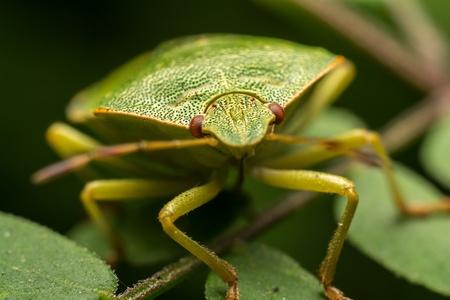 green shield bug: Macro Photo Of A Green Shield Bug Sucking Sap From A Plant