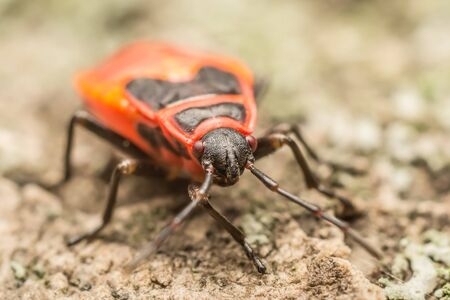 Head Detail Of A Red Stink Bug photo