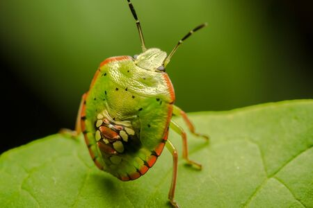 Macro Photo Of A Multicolored Spotted Shield Bug Stock Photo - 18495364