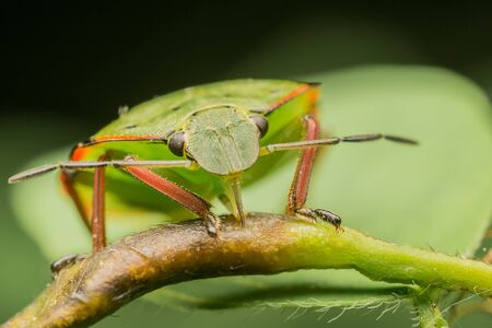 Macro Photo Of A Green Shield Bug Sucking Sap From A Plant Stock Photo - 18495320