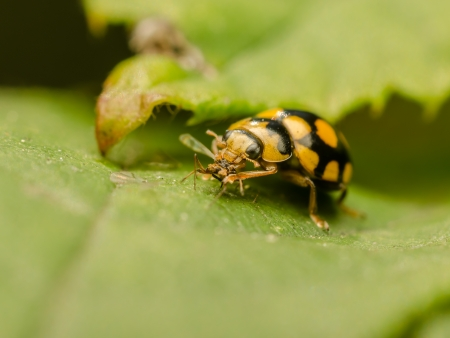 Yellow Ladybug Eating An Ant photo