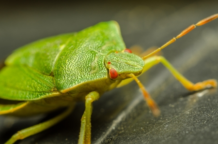 Extreme Macro Photo Of A Green Stink Bug photo