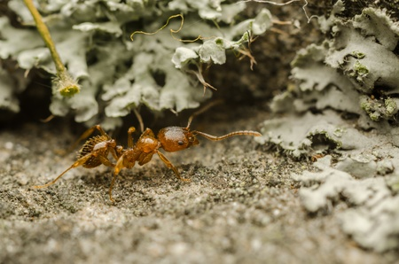 Macro Photo Of A Red Ant Worker Stock Photo - 18762517