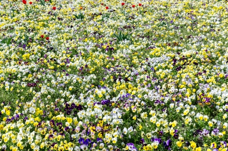 Pansy Flower Field In Spring photo