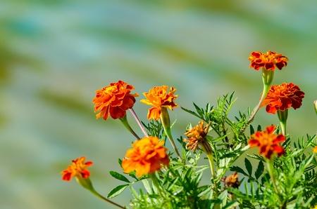 tagetes: Orange Tagetes Flowers