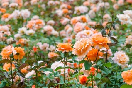 rosas naranjas: Naranja Rosas Garden