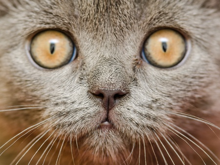 British Short Hair Cat Close Up Portrait photo