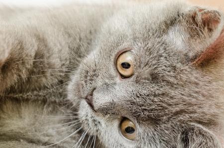 gato jugando: Brit�nico de pelo corto del gato Jugar Close Up
