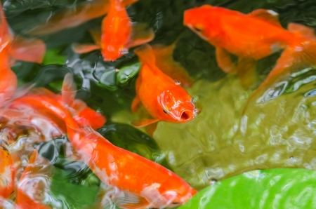 fishtank: Small Goldfish In A Pond Close Up Stock Photo