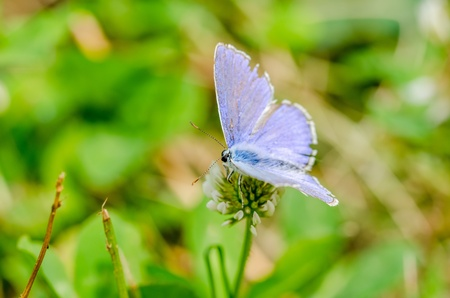 Small Blue Butterfly photo