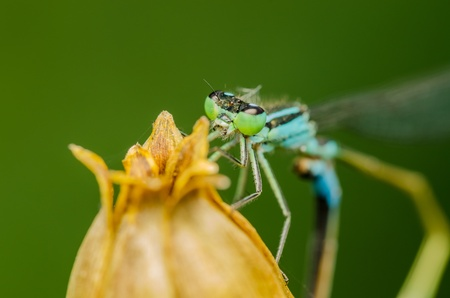 Blue Dragonfly Macro photo