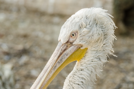 Pelican Portrait photo