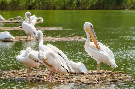 Pelican Colony In The Danube Delta photo