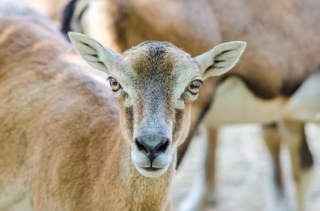 capra: Mountain Goat Portrait