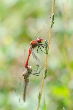 Dragonflies Mating photo