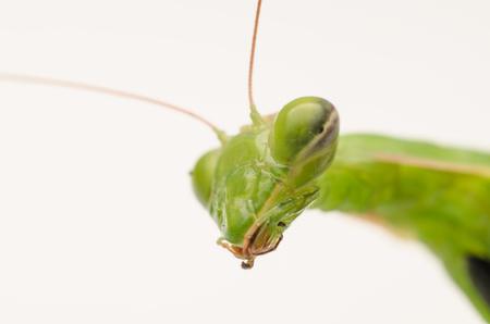 head close up: Praying Mantis Head Close Up On White Background