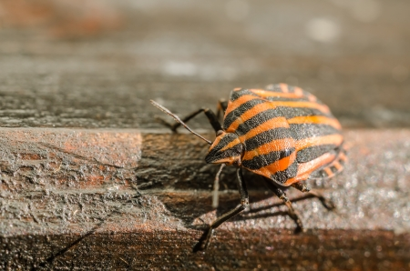 Extreme Macro Details Of A Red Striped Shield Bug Or Stink Bug photo