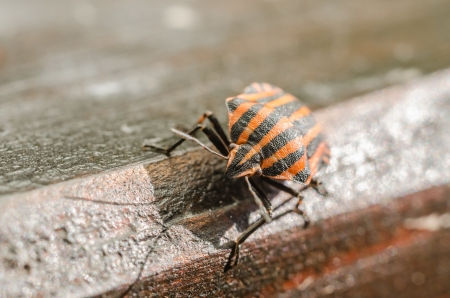 shield bug: Extreme Macro Details Of A Red Striped Shield Bug Or Stink Bug
