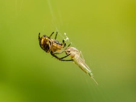 Wild Venomous Spider Feeding On Mosquito Prey Stock Photo - 23167356