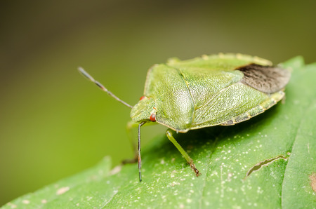 Extreme Macro Details Of A Green Striped Shield Bug Or Stink Bug photo