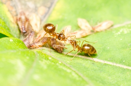 Brown Ants Fighting On Aphids Honeydew Drop Stock Photo - 23167380
