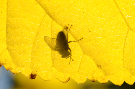 Common Fly insect Shadow On Yellow Leaf