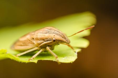 shield bug: Brown Shield Bug Or Stink Bug