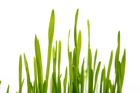 Fresh Grass Closeup On White Background photo