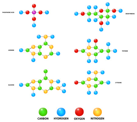 Basic Building Blocks Molecules Of Deoxyribonucleic Acid Dna Vector Illustration Vector
