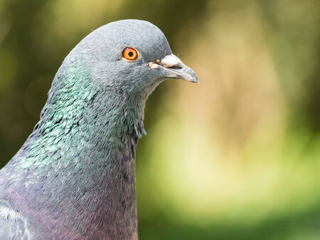 pigeon: Pigeon Portrait Close Up