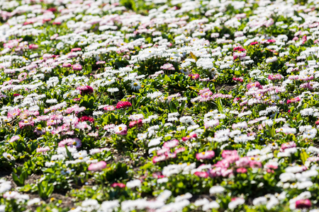 White And Pink Daisies Field Blossom In Spring photo