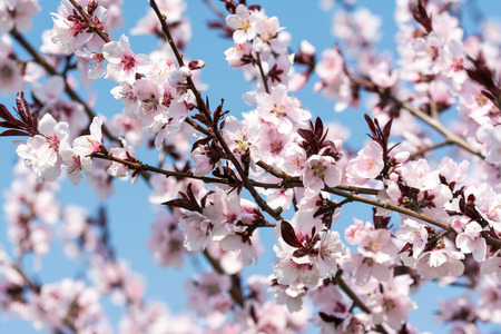 Apple Tree Pink Flowers Spring Blossom On Blue Sky photo