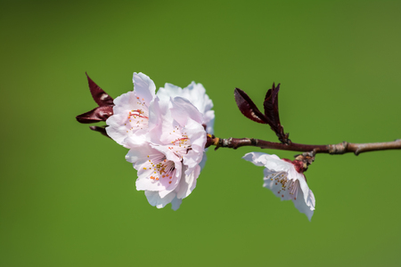 Apple Tree Pink Flowers Spring Blossom Close Up photo