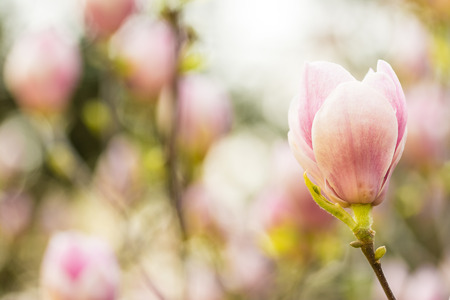 Magnolia Flower Closeup With Magnolia Flowers Impressionist Abstract Background photo
