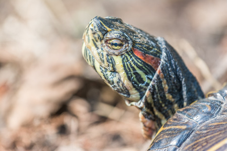 Common Pond Turtle Portrait Closeup photo