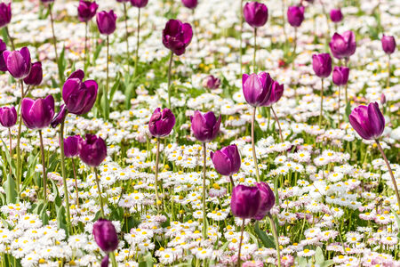 Purple Tulips And White Daisies Field In Spring photo