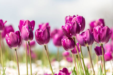 Purple Tulips Field In Spring Close Up photo